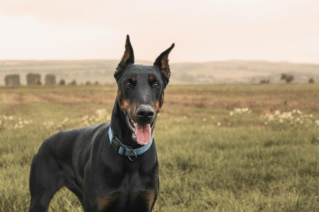Dobermann Pinscher cani da guardia