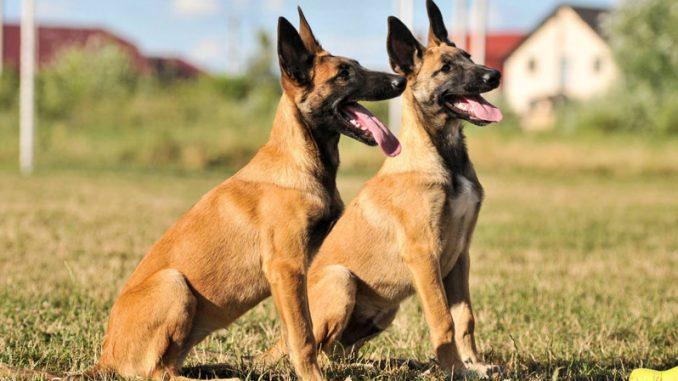 Pastore Belga Malinois cani da guardia